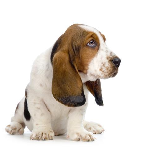 Фотошпалери тварина свійський свійський пес