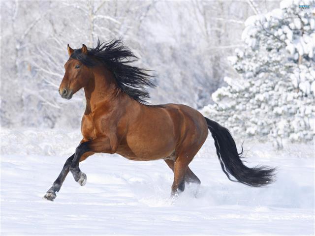 Фотошпалери сніг кінь кінь скакати