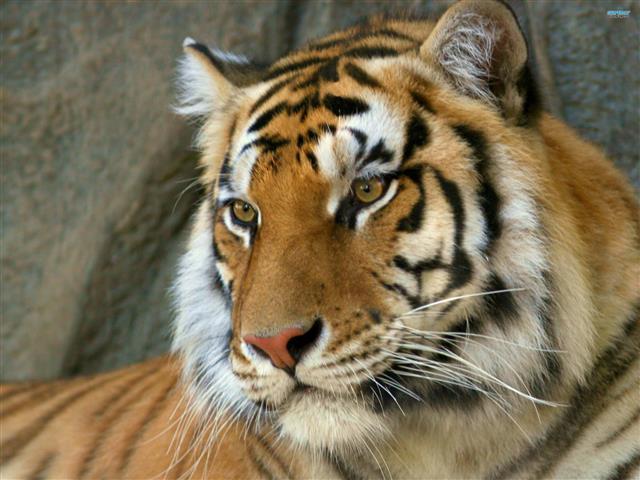 Фотообои животное тигр тигр хищник