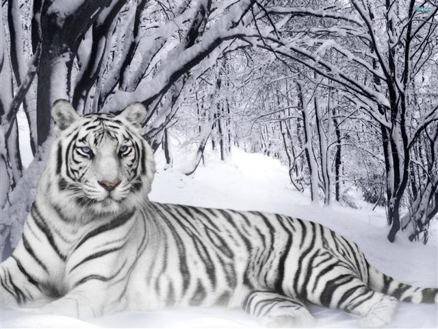Фотошпалери сніг тигр тигр білый