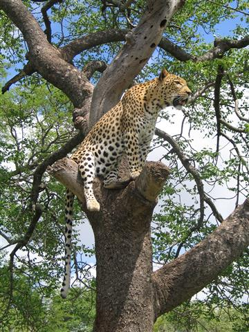 Фотошпалери тварина леопард вузький дерево