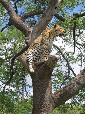 Фотообои животное леопард узкий дерево