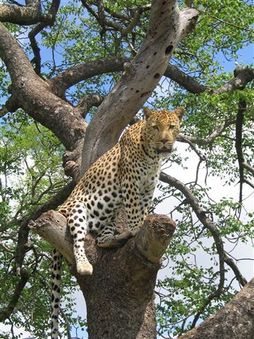 Фотообои животное леопард леопард дерево