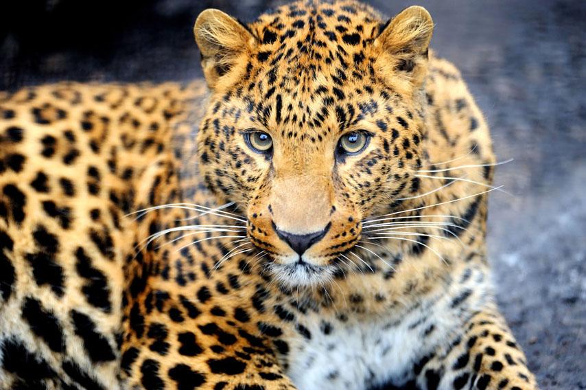 Фотообои леопард животное дикий кот