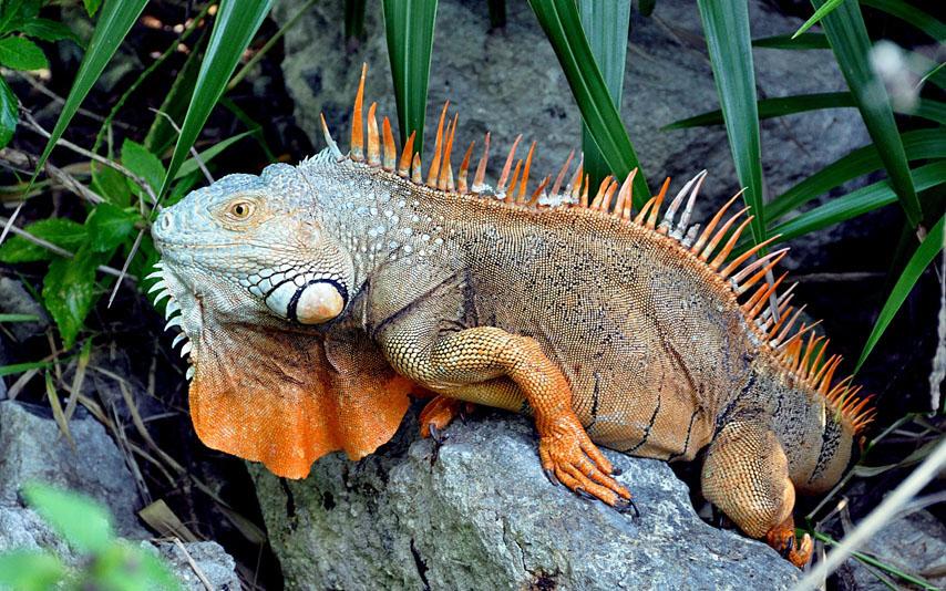 Фотообои игуана животное дикий ящерица