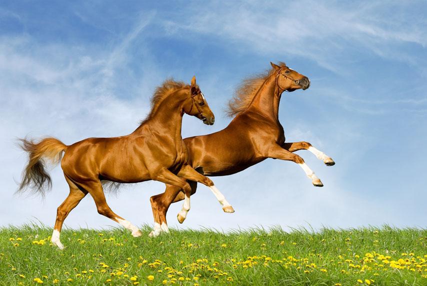 Фотошпалери кінь коричневий кінь скакати