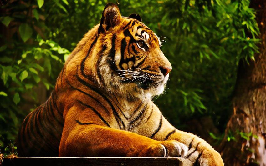 Фотообои животные тигр wallpapers фотообои