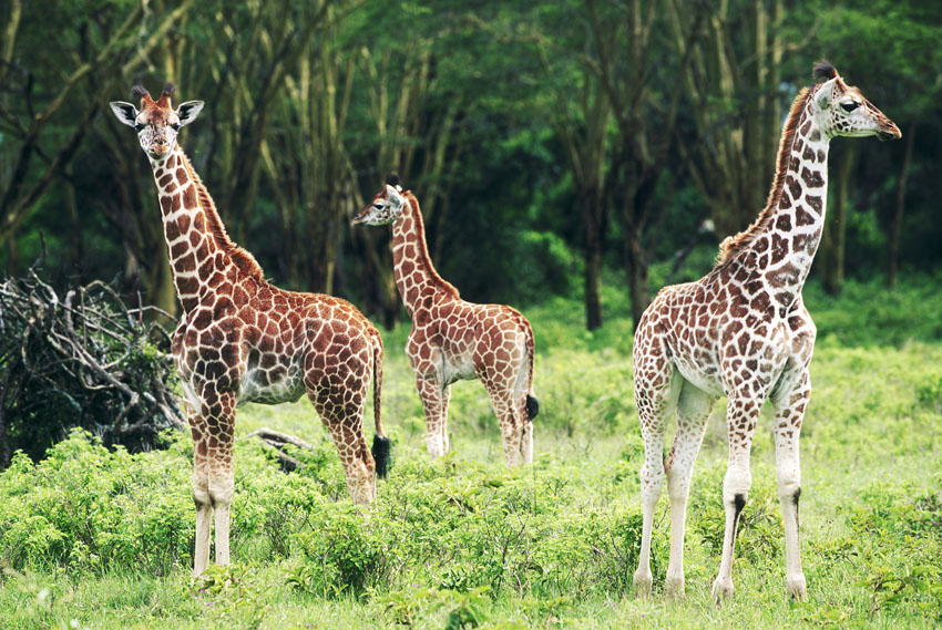 Фотошпалери тварини жираф wallpapers фотошпалери