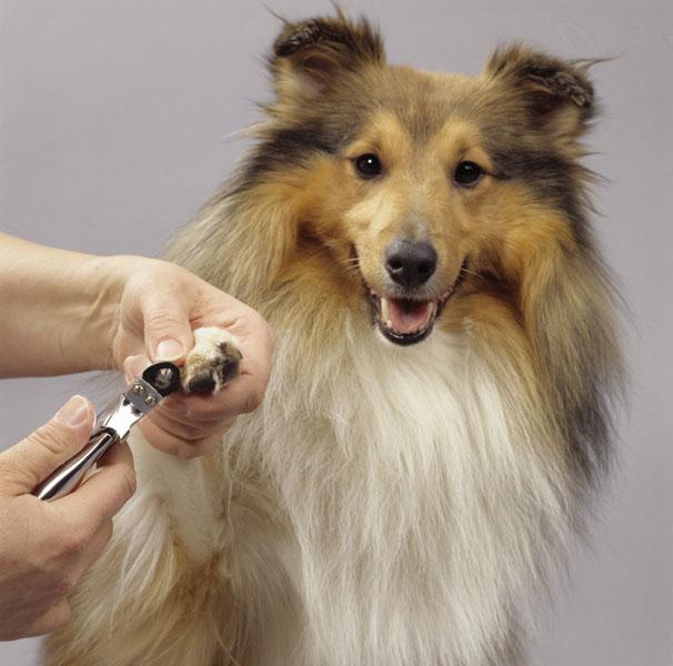 Фотошпалери тварини собака коллі фотошпалери
