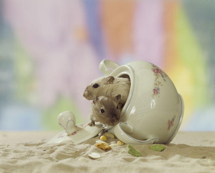 Фотошпалери тварини миша хом'як фотошпалери