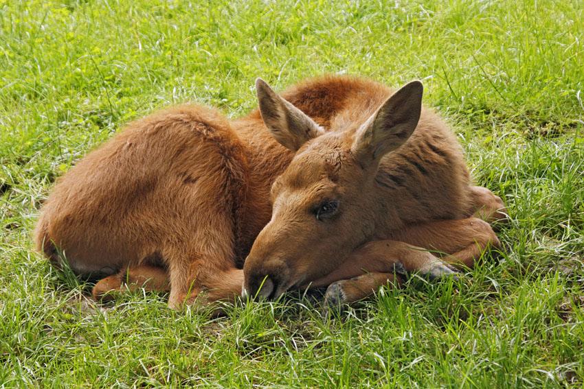 Фотошпалери тварини оленятко wallpapers фотошпалери