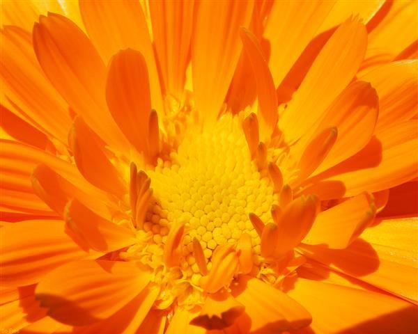 Фотошпалери мистецтво квіти помаранчевий макро