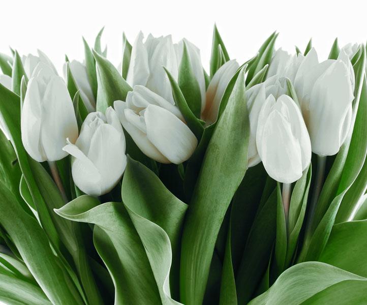 Фотошпалери квіти тюльпан білый зелений